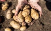 Machen Kartoffeln Diabetes?